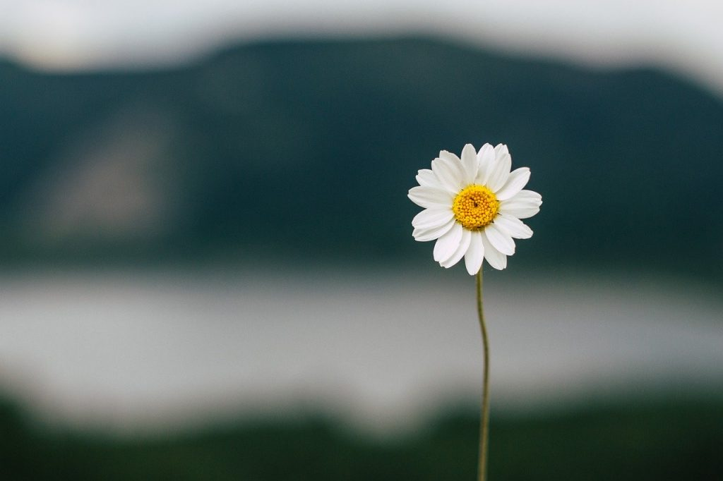 Daisy Flower Lake Nature Summer  - kucukgulberkan / Pixabay
